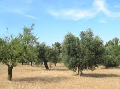 imagen 1 de Venta de olivar en Mirandilla (Badajoz)