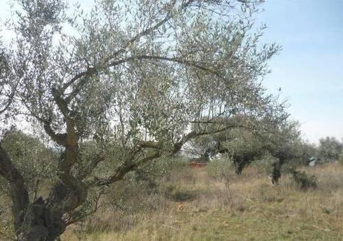 imagen 3 de Venta de olivar en Mirandilla (Badajoz)
