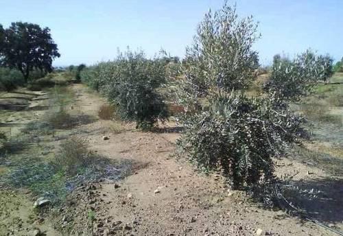 imagen 2 de Venta de olivar en Mirandilla (Badajoz)
