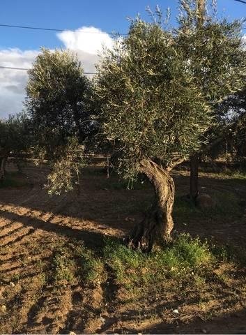 imagen 1 de Venta de olivar en Quintana De La Serena (Badajoz)