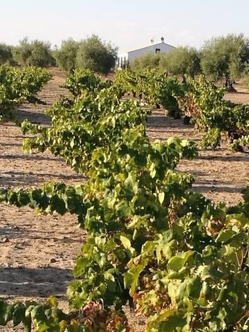 imagen 1 de Venta de viñedo en Villanueva De La Serena (Badajoz)