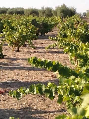 imagen 4 de Venta de viñedo en Villanueva De La Serena (Badajoz)