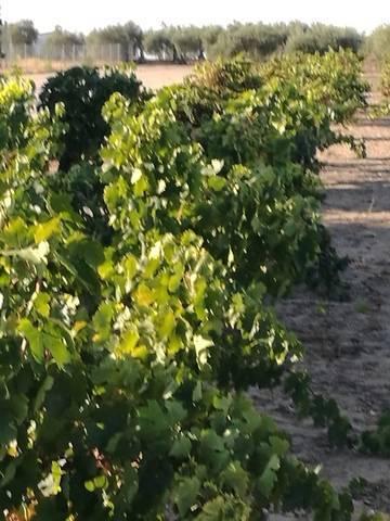 imagen 3 de Venta de viñedo en Villanueva De La Serena (Badajoz)