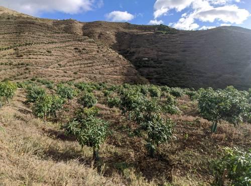 imagen 2 de Finca de mangos en Almuñécar (Finca de Banco)