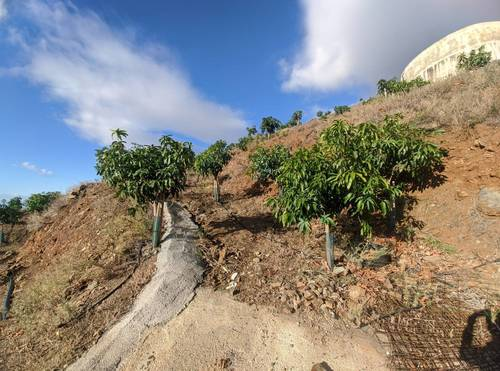 imagen 12 de Finca de mangos en Almuñécar (Finca de Banco)