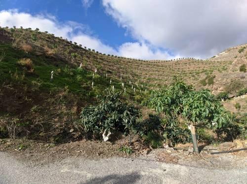 imagen 3 de Finca de mangos en Almuñécar (Finca de Banco)