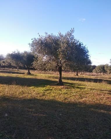 imagen 1 de Venta de olivar en La Nava de Santiago (Badajoz)