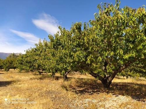 imagen 2 de Venta de finca de cerezos en Torremenga (Cáceres)
