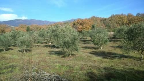 imagen 1 de Venta de finca olivar en Talaveruela de la Vera (Cáceres)