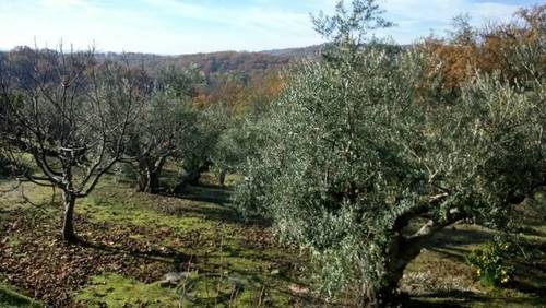 imagen 2 de Venta de finca olivar en Talaveruela de la Vera (Cáceres)