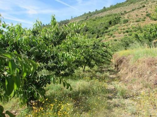 imagen 2 de Venta finca de cerezos en La Pesga (Cáceres)