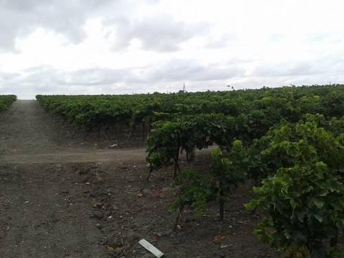 imagen 2 de Venta de finca con viñedo en El Puerto de Santa María (Cádiz)