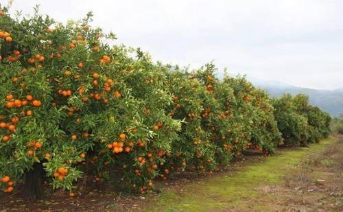 imagen 1 de Venta de campos de naranjos en Almenara (Castellón)
