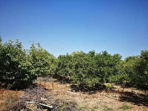 imagen 1 de Venta de finca de naranjos en Benicarló (Castellón)