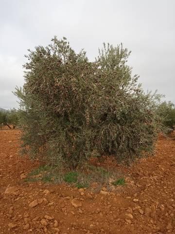 imagen 2 de Venta de finca olivar en Moral de Calatrava (Ciudad Real)