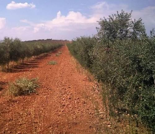 imagen 2 de Venta de finca olivar y viñedo en Valdepeñas (Ciudad Real)