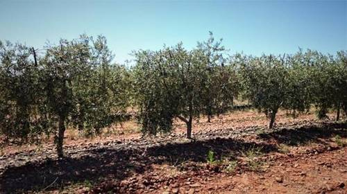 imagen 3 de Venta de finca olivar y viñedo en Valdepeñas (Ciudad Real)