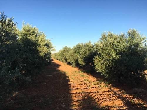 imagen 2 de Venta de magnífica finca olivar en Calzada de Calatrava (Ciudad Real)