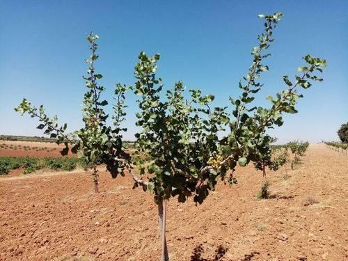 imagen 2 de Venta de finca de pistachos en Manzanares (Ciudad Real)