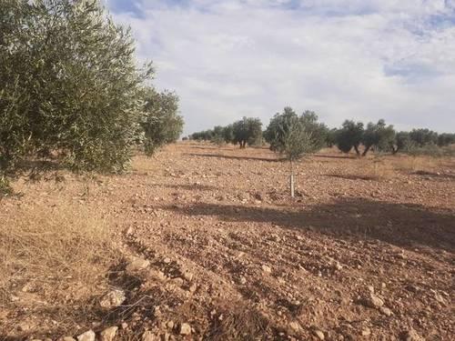 imagen 1 de Venta de olivar en Carrión de Calatrava (Ciudad Real)