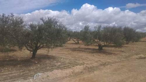 imagen 2 de Venta de finca olivar en Pedro Muñoz (Ciudad Real)