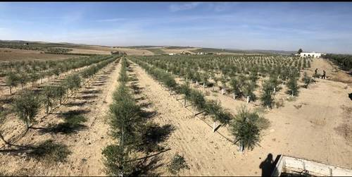 imagen 1 de Venta de olivar superintensivo en El Carpio (Córdoba)