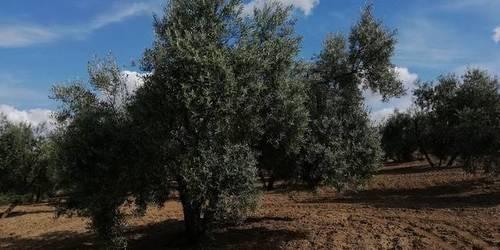 imagen 2 de Venta de finca olivar en Bujalance (Córdoba)