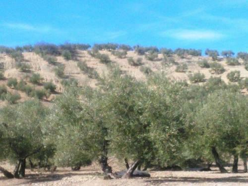 imagen 1 de Venta de finca olivar en Cañete de las Torres (Córdoba)