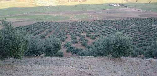 imagen 2 de Venta de finca olivar en Cañete de las Torres (Córdoba)