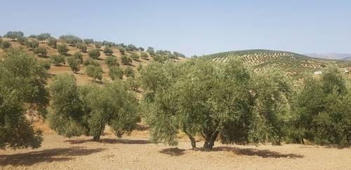 imagen 1 de Venta de finca olivar en Lucena (Córdoba)