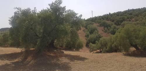 imagen 2 de Venta de finca olivar en Lucena (Córdoba)