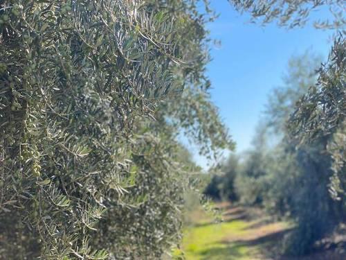 imagen 1 de Venta de finca olivar en Palma del Río (Córdoba)