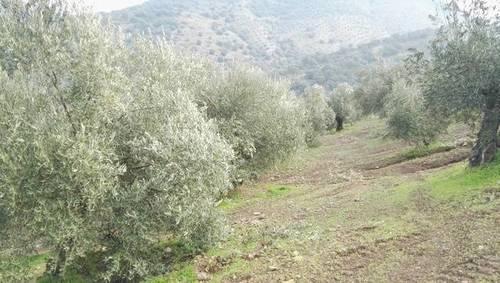 imagen 2 de Venta de olivar en Adamuz (Córdoba)