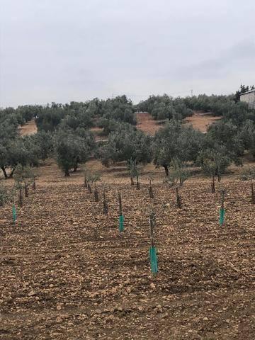 imagen 2 de Venta de parcela con olivos en La Victoria (Córdoba)