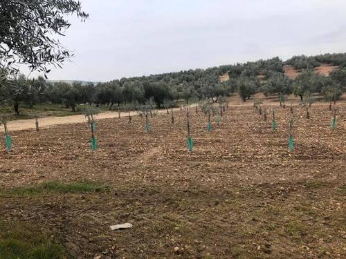 imagen 1 de Venta de parcela con olivos en La Victoria (Córdoba)