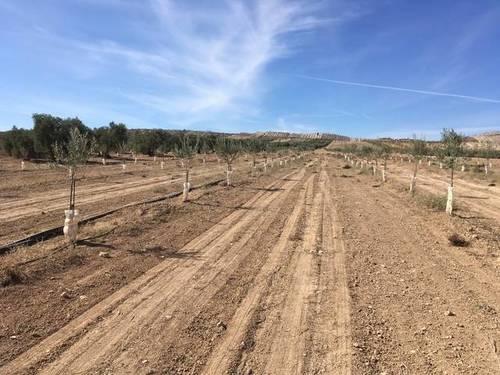imagen 2 de Venta de estupendo olivar en Chimeneas (Granada)