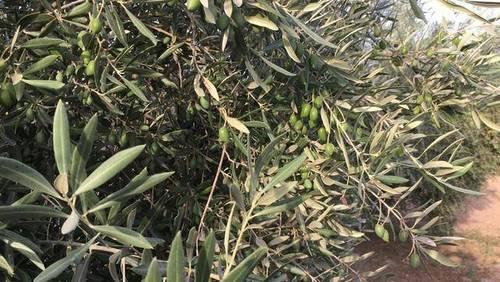 imagen 3 de Venta de estupendo olivar en Chimeneas (Granada)