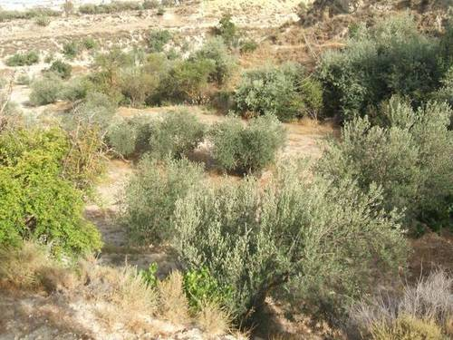 imagen 1 de Venta de estupenda finca olivar en Baza (Granada)