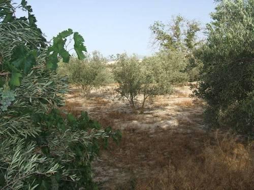 imagen 2 de Venta de estupenda finca olivar en Baza (Granada)