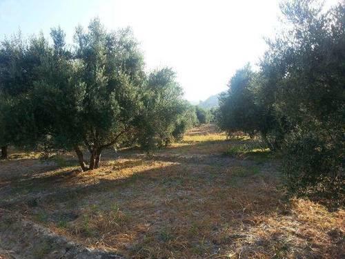 imagen 2 de Venta de olivar en Castril (Granada)