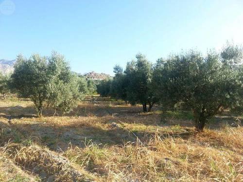 imagen 3 de Venta de olivar en Castril (Granada)