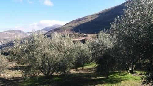 imagen 1 de Venta de finca con olivos en producción en Güejar Sierra (Granada)