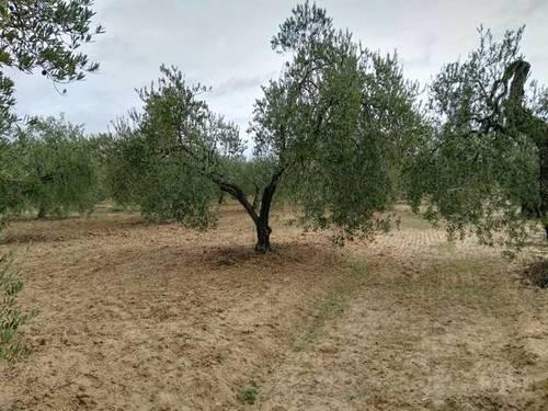 imagen 1 de Venta de olivar en Almonte (Huelva)