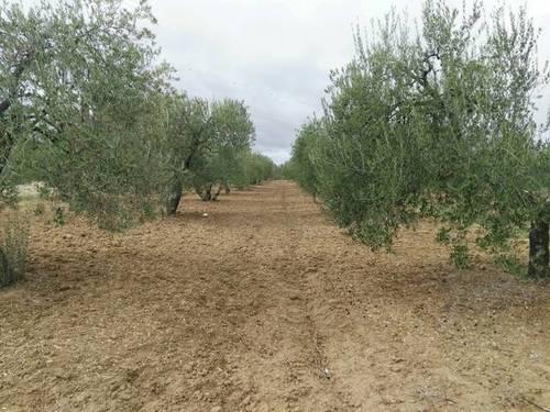 imagen 2 de Venta de olivar en Almonte (Huelva)