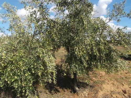 imagen 2 de Venta de finca olivar en Rociana del Condado (Huelva)