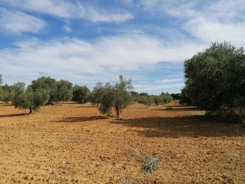 imagen 1 de Venta de campo olivar en Manzanilla (Huelva)