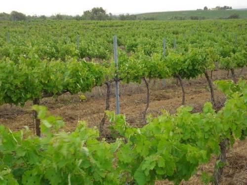 imagen 1 de Venta de magnífico viñedo en Barbastro (Huesca)