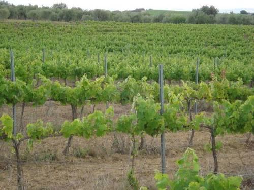imagen 2 de Venta de magnífico viñedo en Barbastro (Huesca)