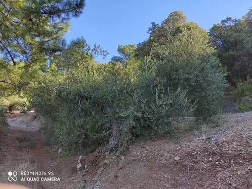 imagen 2 de Venta de olivar en Peñolite (Jaén)