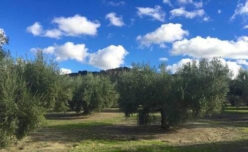 imagen 2 de Venta de magníficas fincas olivares en Alcalá la Real (Jaén)